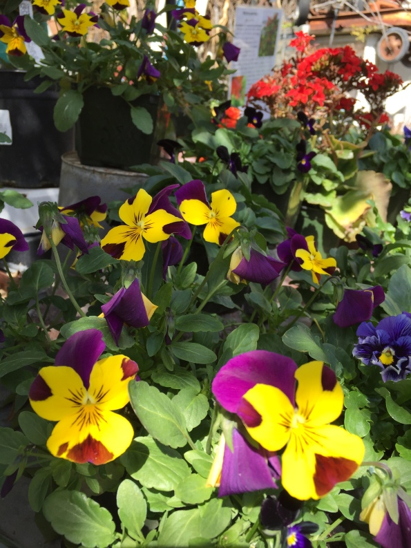 Pansies - Orange 2018-3-9