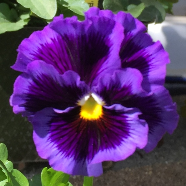 Purple Pansy - Orange - 2018-3-9