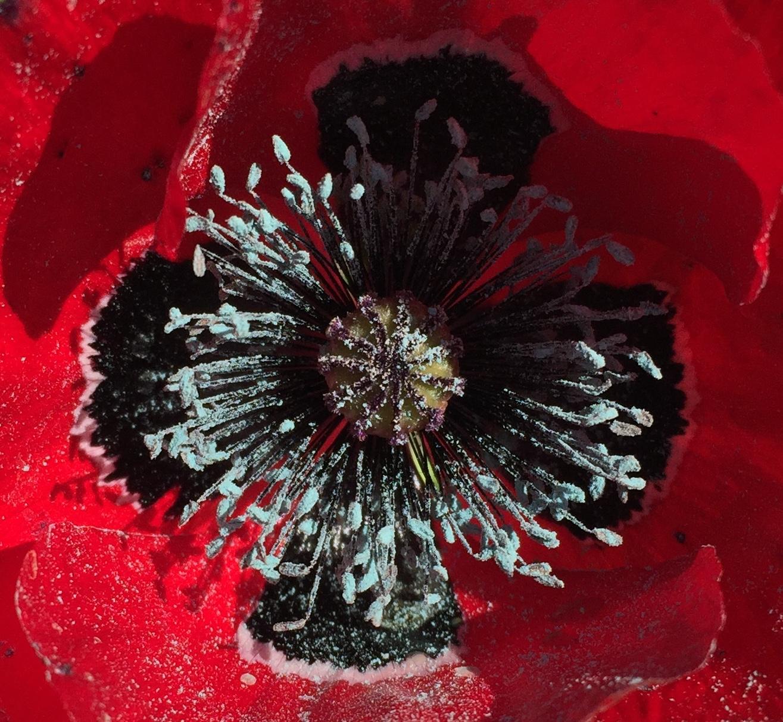 Red with Black Center Poppy Close-up - Orange - 2018-3-9